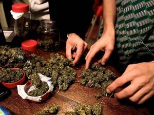 procesando-marihuana