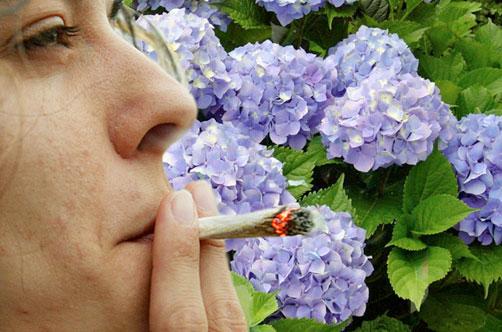 Preocupa a los expertos el consumo de porros de flores de - Porros de hortensias ...