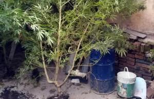 plantas-de-marihuana-Casero
