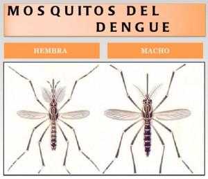 mosquitos-del-Dengue