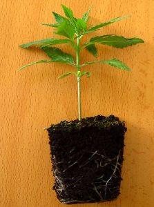 plantita-de-marihuana